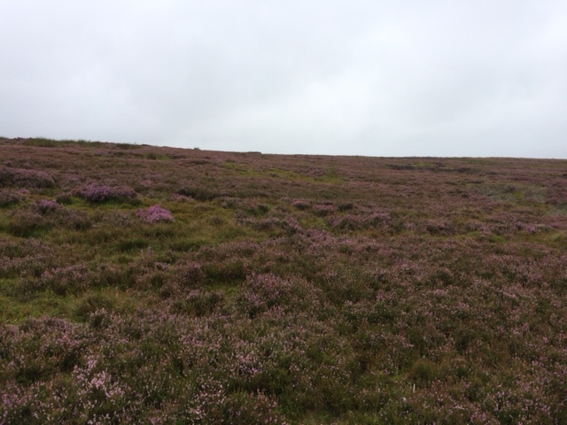 20180818 Heather moorland near Greenhead