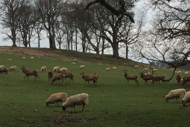 20190404 Red deer at Chatsworth