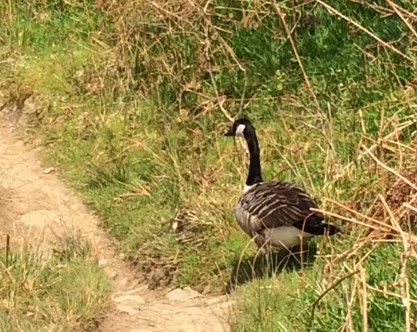 20190421 Canada goose sharing the trail
