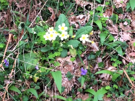 20190421 Primroses and violets