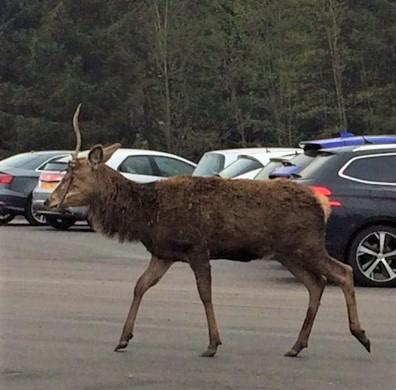 20190424 Deer in the Kingshouse carpark