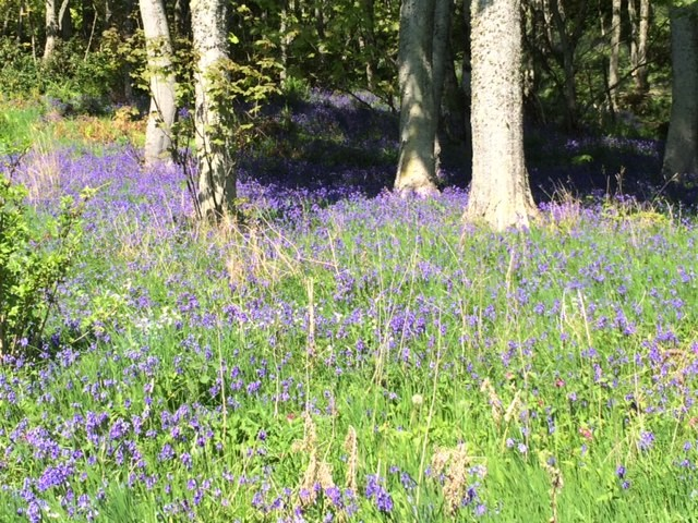 20190516 Bluebells on the route to Brora