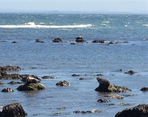 20190516 Seals basking on rocks near Brora