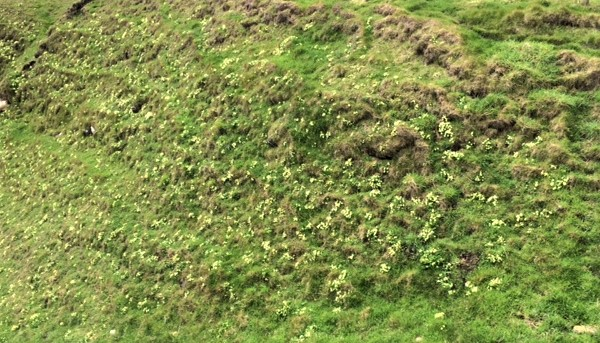 20190521 Primroses on the side of a geo